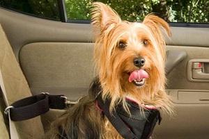 Перевозка домашних животных в автомобиле